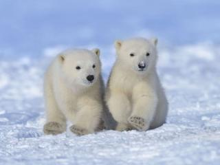обои Два белых медвежонка фото
