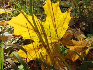 обои Осенний лист в траве осенней фото