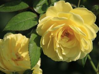 обои для рабочего стола: Чайные жёлтые розы