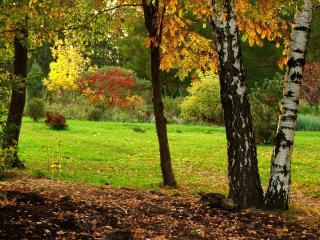 обои Осенние березы на опушке леса фото