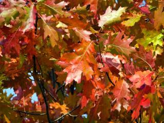 обои Дубовый лист осенний фото