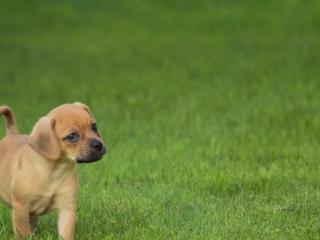 обои Любопытный щенок на зеленой траве фото