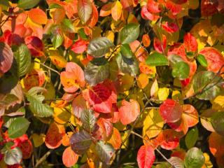 обои Осенние листья розы фото