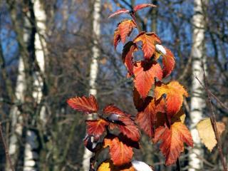 обои Смородиновая осень фото