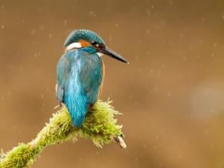 обои Голубенькая птичка под дождем фото