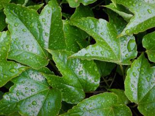 обои Зеленые глянцевые листья в каплях воды фото