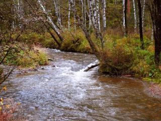 обои Бурный лесной осенний ручей,   у стройных берез фото