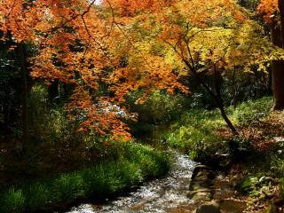 обои Осенний ручей,   под золотистой кроной клена фото