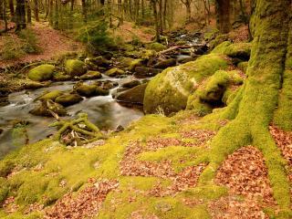 обои Осенний ручей,   в лесу укрытом ковром из зеленого мха фото