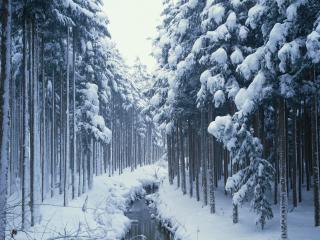 обои Зимний ручей в лесу,   вдоль высоких елей фото