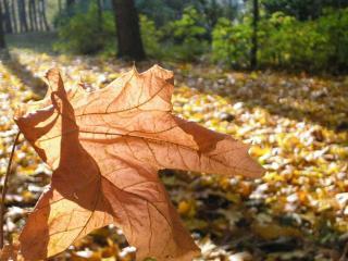 обои Кленовый лист освещённый солнцем фото