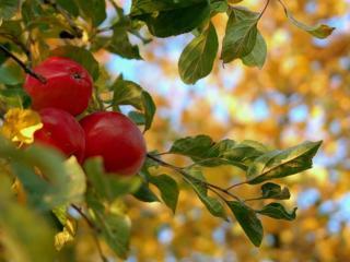 обои Яблочки красные осенние фото