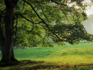 обои Летнее дерево в парке, с густыми склонившимися ветвями фото