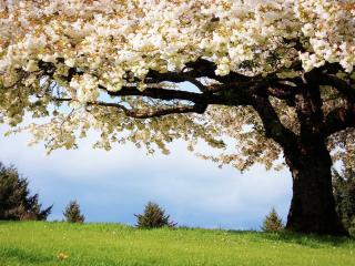 обои Обильно цветущее весеннее дерево,   на лугу фото