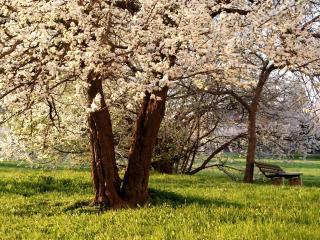 обои Скамейка под цветущими деревьями парка фото