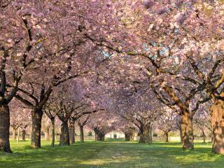 обои Аллея в тени цветущих деревьев парка фото