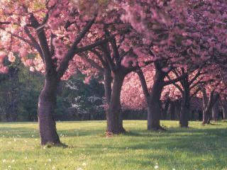 обои Стройный ряд цветущих деревьев парка фото