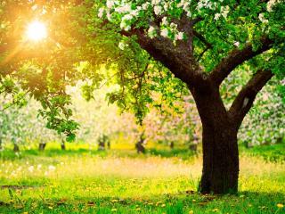 обои Цветущее весеннее дерево,   в ярком свечении солнца фото
