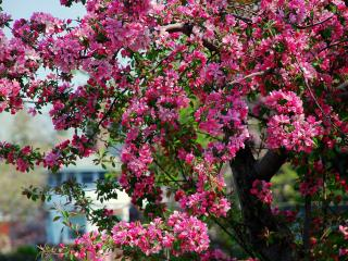 обои Яркое весеннее дерево,   цветущее розовыми цветами фото