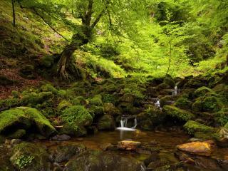 обои Весенний ручей в лесу,   в свежей зелени листьев,   у дерева фото