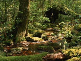 обои Летний ручей в дебрях леса,   у могучего дерева фото