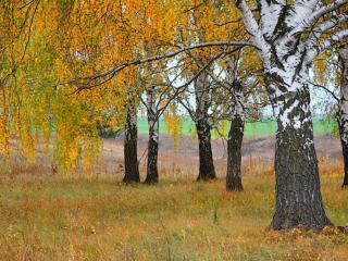 обои Берёзы осенние на опушке леса фото