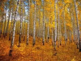 обои Осенняя берёзовая роща фото