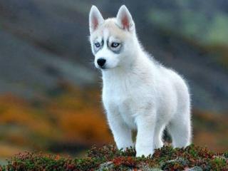 обои Белый щенок хаски фото
