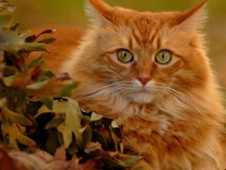 обои Рыжий красавец в дубовых листьях фото