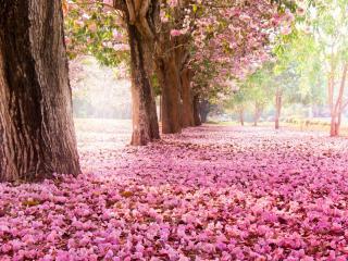 обои Розовый ковер под цветущими деревьями в парке фото