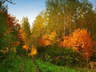 обои Дорога в осенний березняк фото