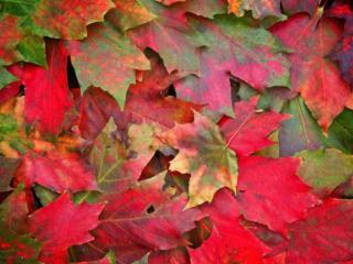 обои Красно-зелёные листья кленовые фото