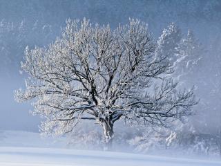 обои Зимнее деревце-невеста в мороз фото