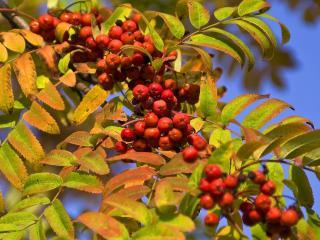 обои Осень рябиновая фото