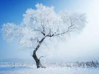 обои Изогнутое дерево в зимнем поле фото