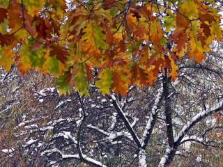 обои Первый снег осеннего утра и листья фото