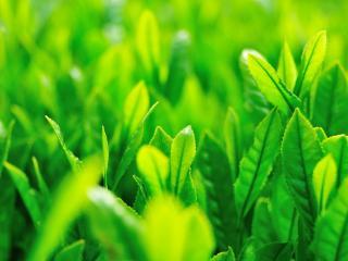 обои для рабочего стола: Листья нежной зеленой травы