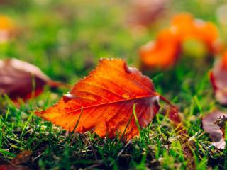 обои Красные листья на редкой траве фото