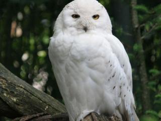 обои Белая сова фото