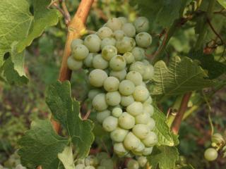 обои Зелёный сладкий виноград фото