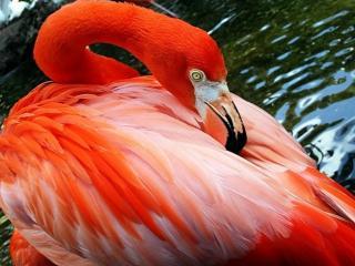 обои Красно-розовый фламинго фото