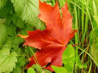 обои Красный осенний кленовый листок фото