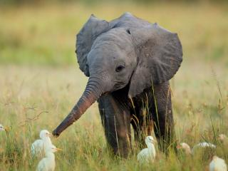 обои Маленький слоненок фото