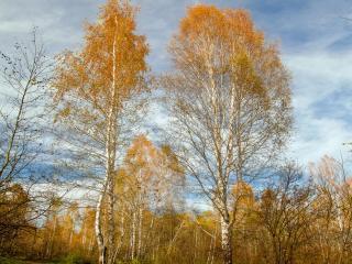 обои Молодые осенние берёзки в лесу фото