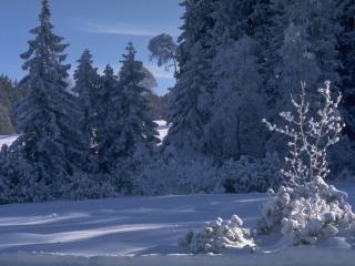 обои Снежное утро в лесу фото