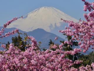 обои Фудзияма в цветах сакуры фото