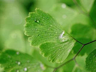 обои Прозрачные капли на зеленых листьях фото