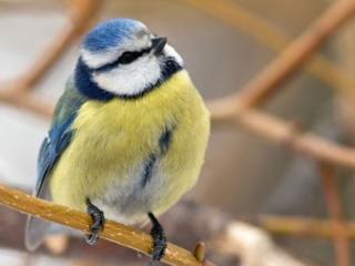 обои Птичка - синичка фото