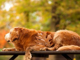 обои Пес с большим листом на скамейке фото