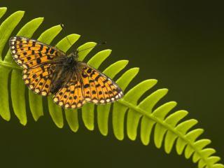 обои Бабочка на листе папоротника фото